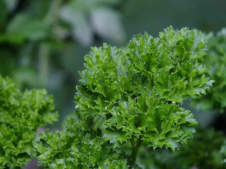 Parsley, Fresh, Bio, Nature, Healthy, Eat, Food