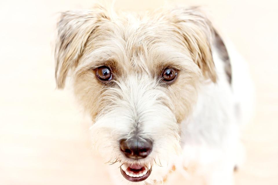 Dog, Hands Help, Parson Terrier, Art