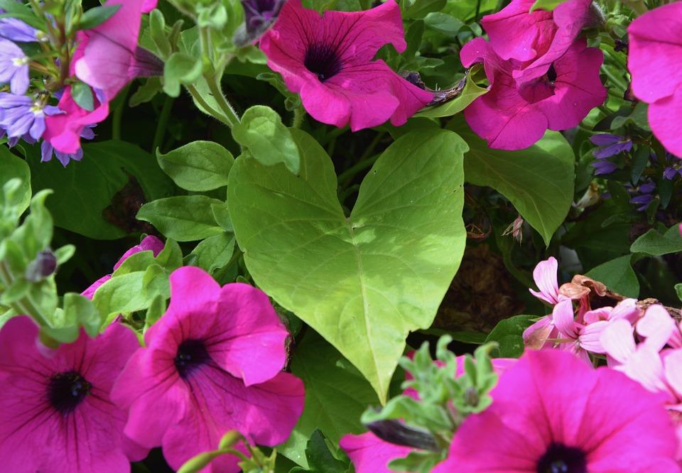 Leaf Petunia, Flowers, Violet, Nature, Parterre, Plant