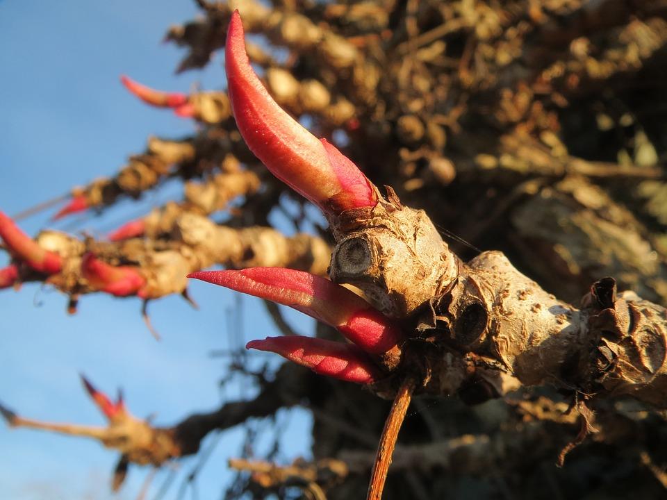 Parthenocissus Quinquefolia, Virginia Creeper
