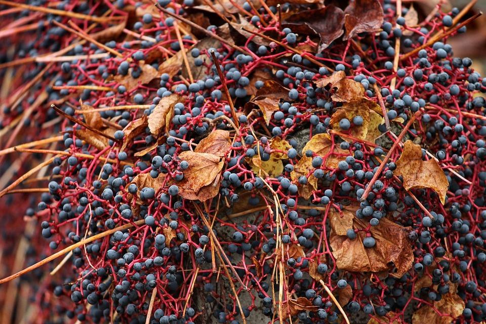 Wine Partner, Parthenocissus Quinquefolia, Vine, Autumn