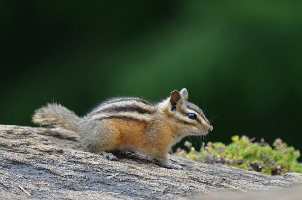 Chipmunk, Outside, Partk, Animal, Nature, Wild, Mammal