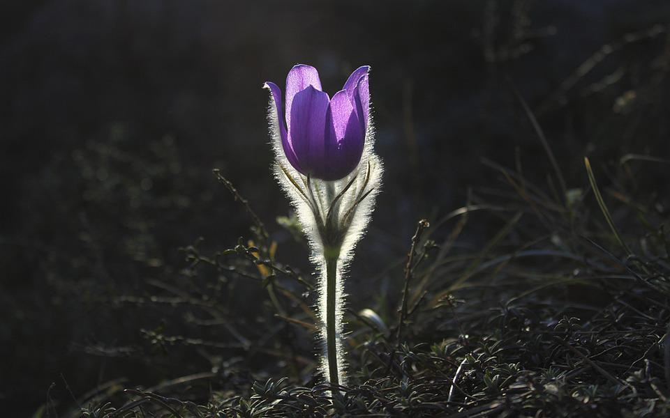 Pasqueflower, Flower, Pasque Flower, Plant, Nature