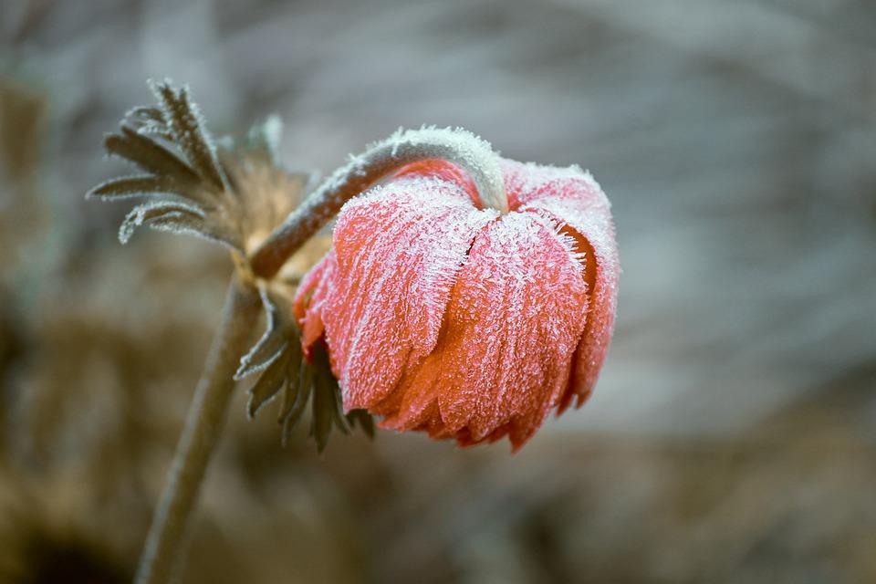 Pasqueflower, Flower, Frost, Ice, Frozen, Snow, Winter
