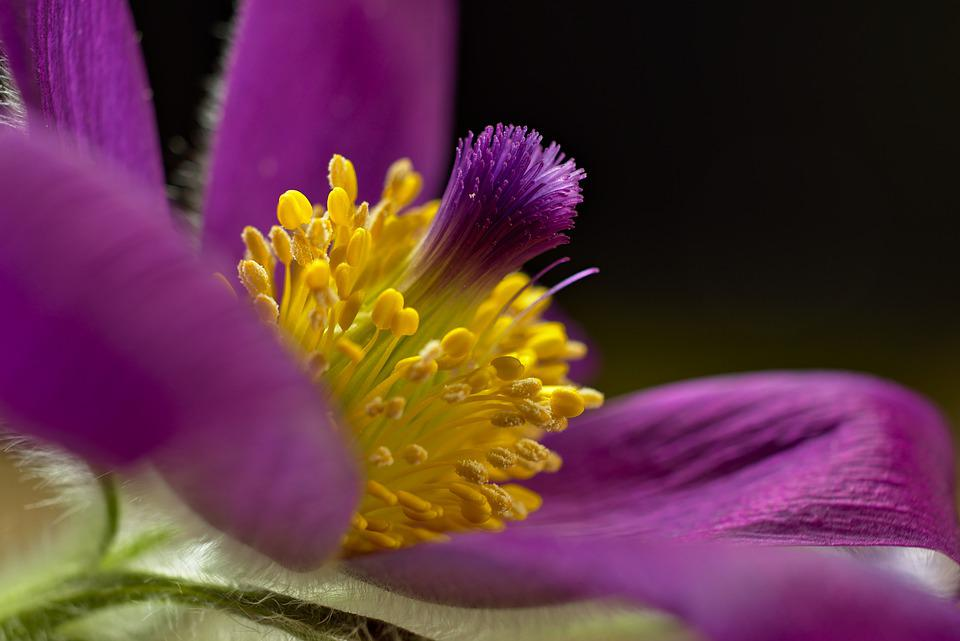Pasqueflower, Flower, Pistil, Pulsatilla, Purple Flower