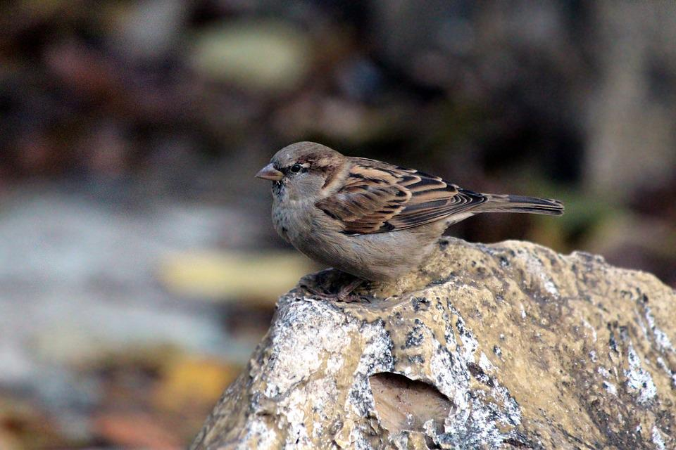 A City Sparrow, Passer Domesticus, House Sparrow