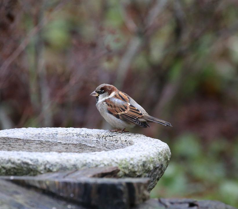 Bird, House Sparrow, Passer Domesticus, Springs