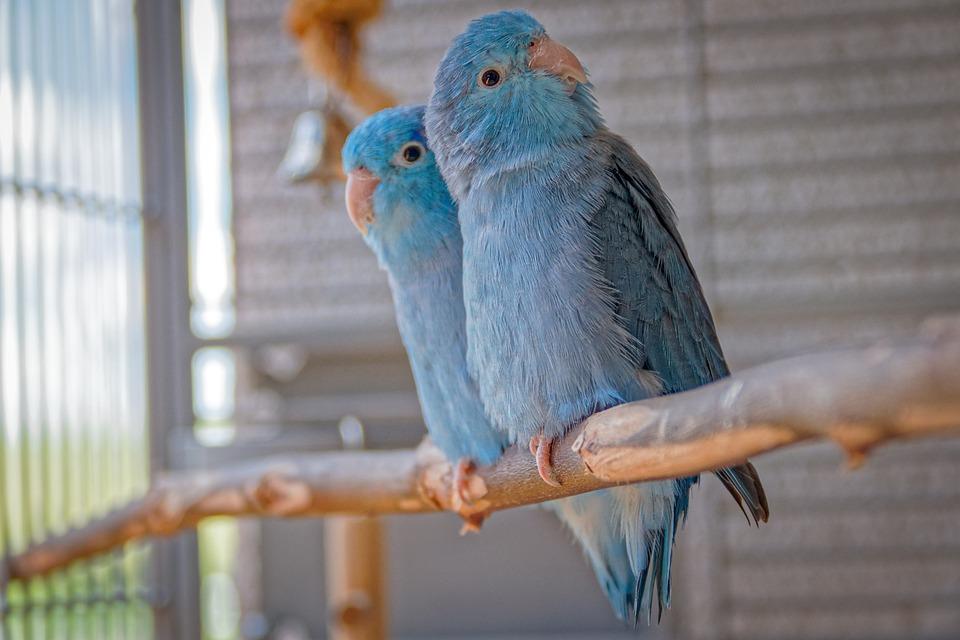 Animals, Passerine Parrots, Blue, Pair, Bill, Plumage