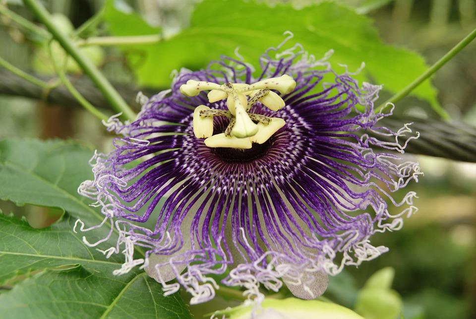 Passiflora Incarnata, Passion Flower, Flowering, Garden
