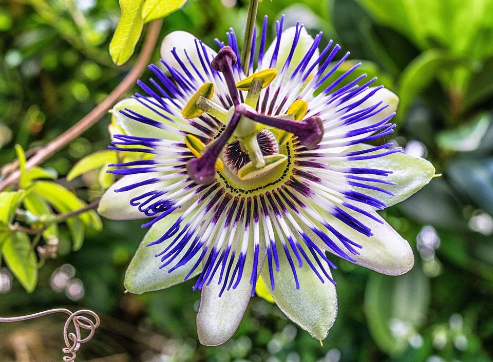 Blossom, Bloom, Passion Flower, Passiflora, Symbol