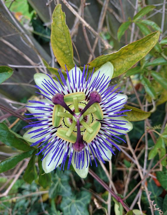Passion Fruit, Passion Flower, Pretty Flower, Flower
