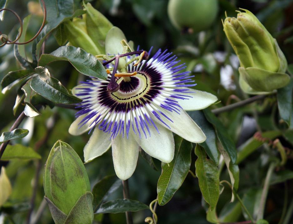 Passion Flower, Exotic, Floral, Plant, Nature, Paradise