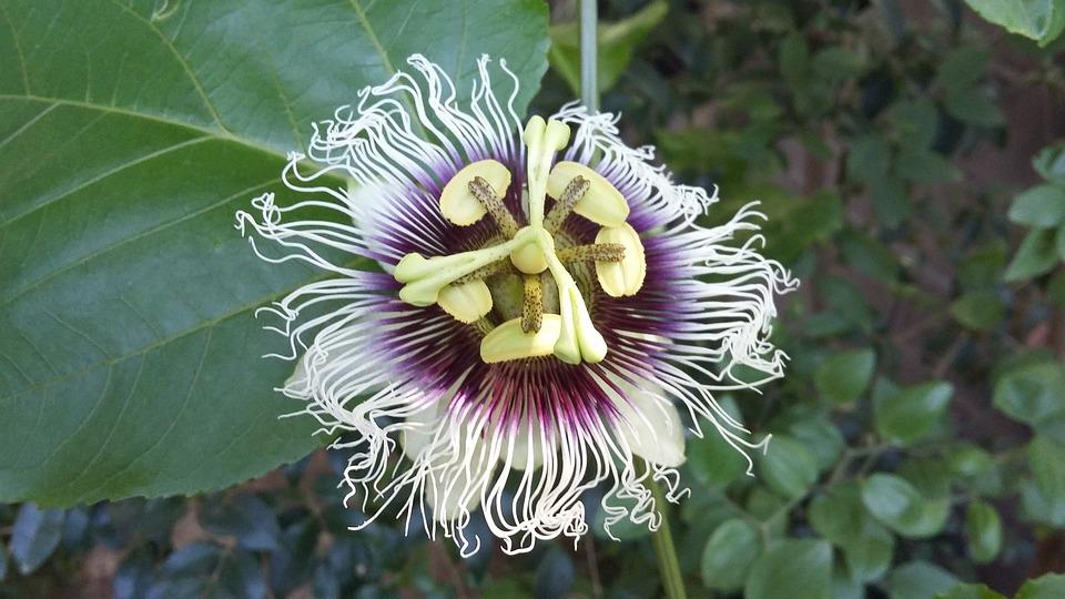 Passion Fruit, Passiflora, Passion Flower, Flower, Wild