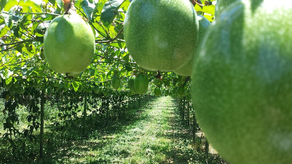 Passion Fruit, Agriculture, Agronomy, Rural, Crop