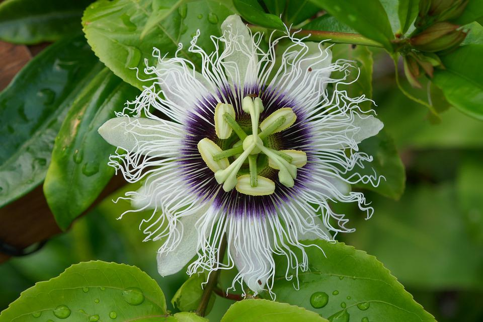 Passion Fruit, Lilikoi, Plant, Flower