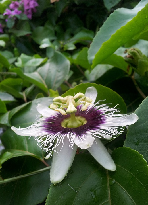 Passion Flower, Nature, Flower, Passion Fruit, Flowers