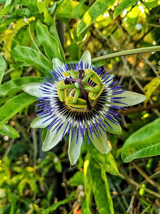 Passion Fruit, Flower, Green, Purple