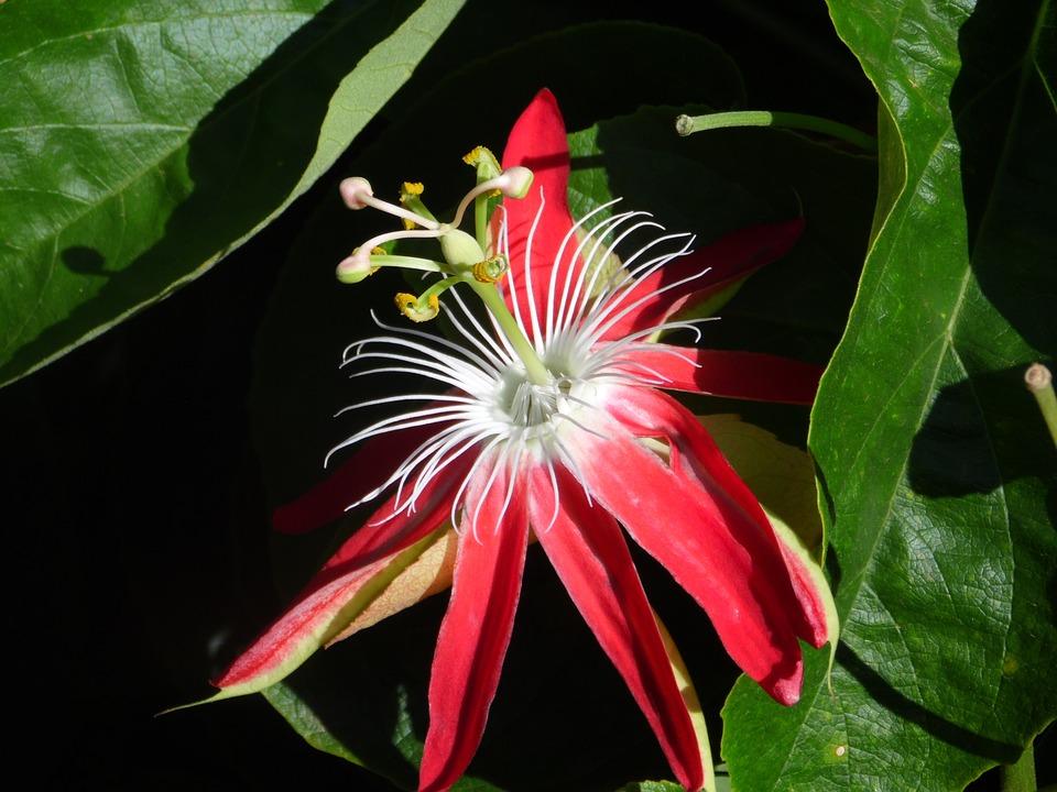 Passion Fruit, Flower, Reproducão