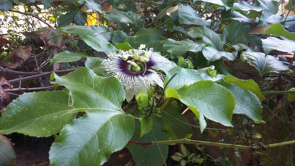 Passion Fruit, Flower, Wild Flower, Plants, Passiflora