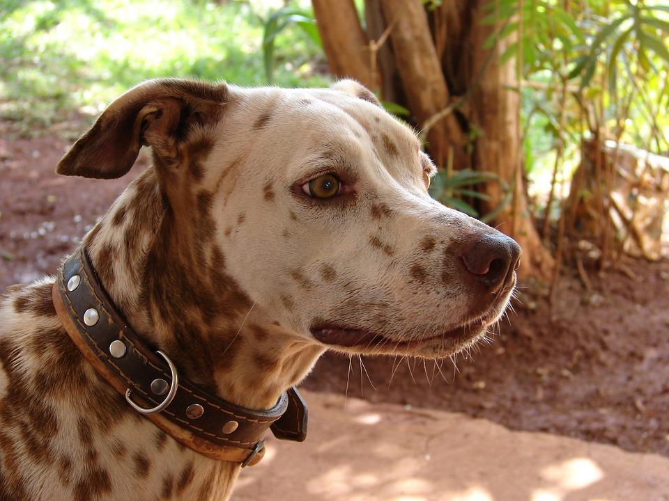 Dog, Pastor, German, Animals