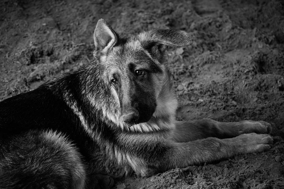 Dog, Pastor, Black And White, German Shepherd, Friend