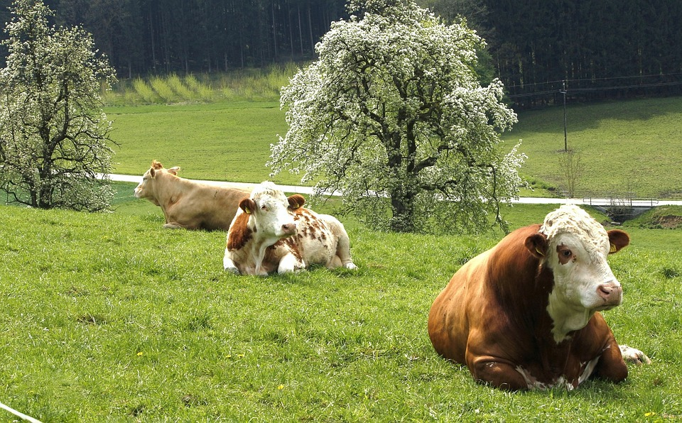Cow, Pasture, Grassland, Spring, Agrobusiness, Cattle
