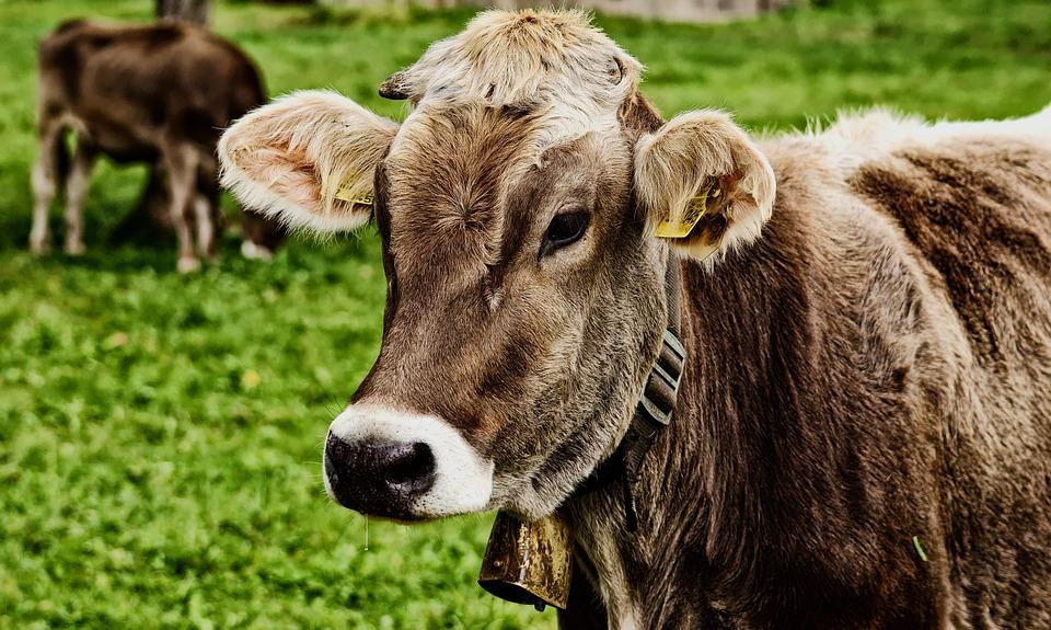 Cow, Allgäu, Beef, Pasture, Animal, Meadow, Nature