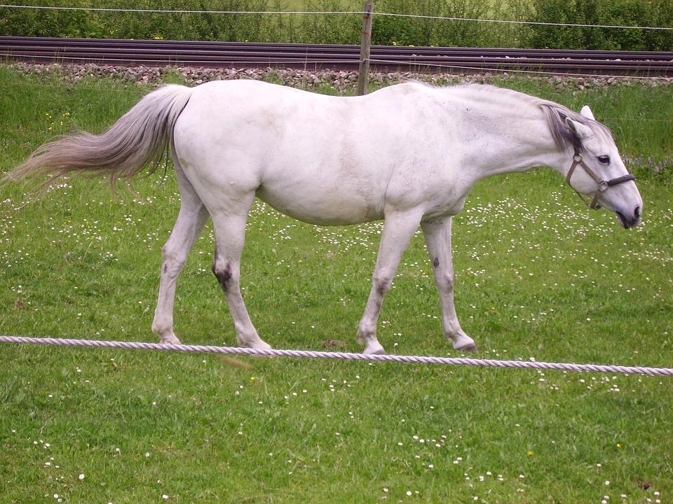 Tightrope, Horse, Mold, Pasture, White, Animal