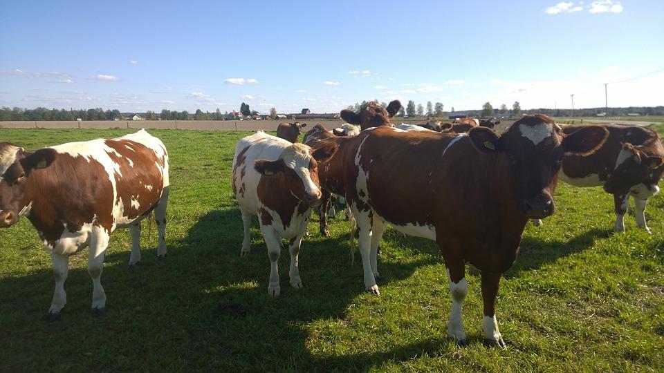 Cows, Pasture, Animal, Farm, Grass, Cattle, Rural