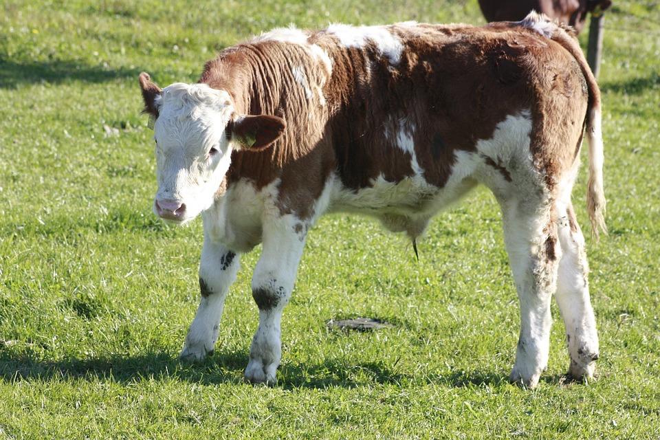 Calf, Cow, Pasture