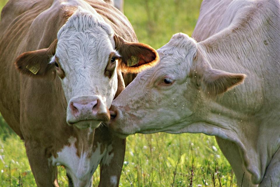 Cows, Portrait, Animals, Pasture