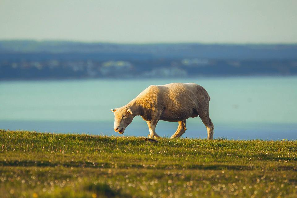 Sheep, Ocean, Dorset, Animal, Pasture