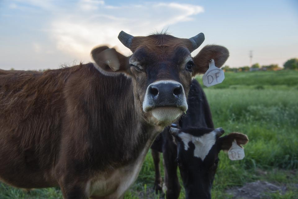 Cow, Cattle, Farm, Pasture, Livestock, Agriculture