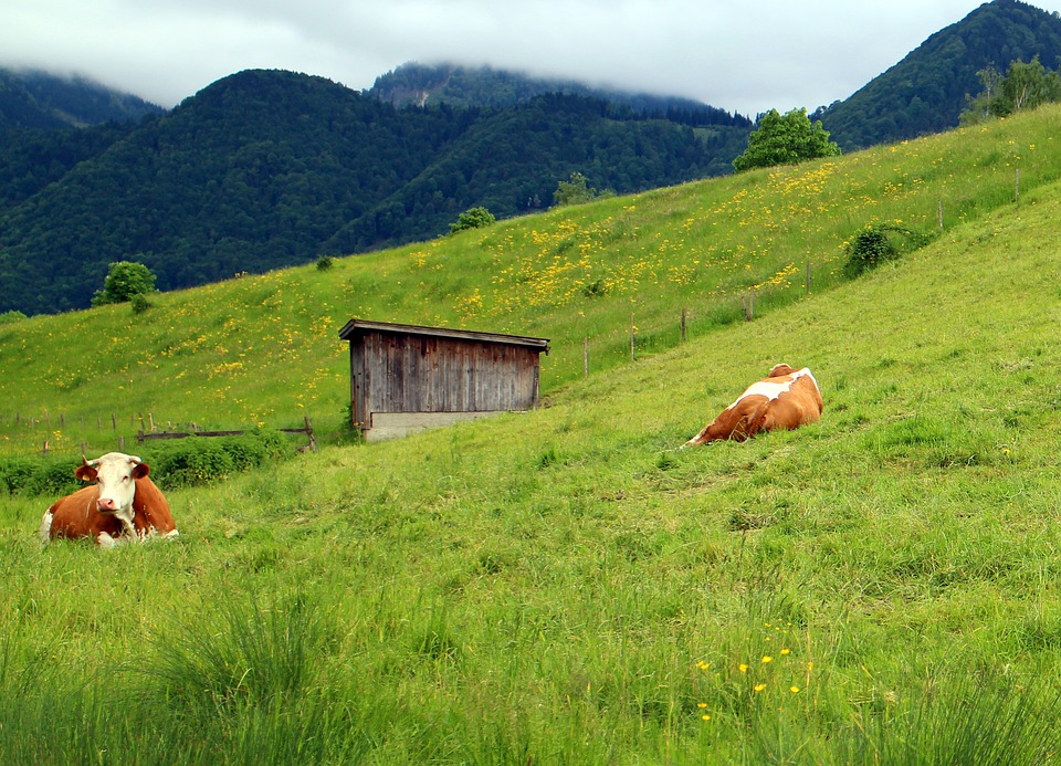Cows, Pasture, Landscape, Flora, Mountain Meadows