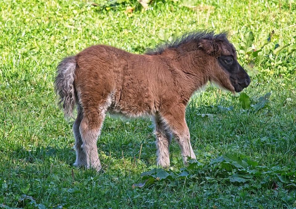 Pony, Foal, Animal, Pasture, Nature, Mammal