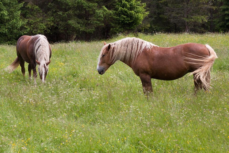 Horse, Haflinger, Pasture, Meadow, Graze, Coupling
