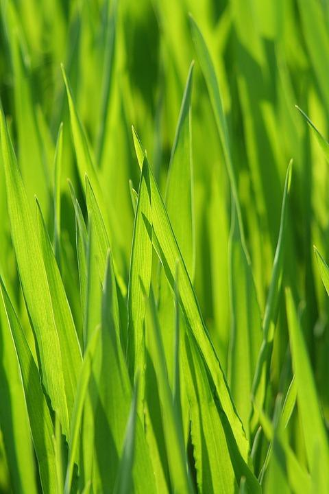 Grass, Meadow, Grasses, Blade Of Grass, Green, Pasture