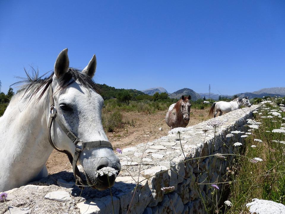 Horses, Palamino's, Pollensa, Mallorca, Pasture