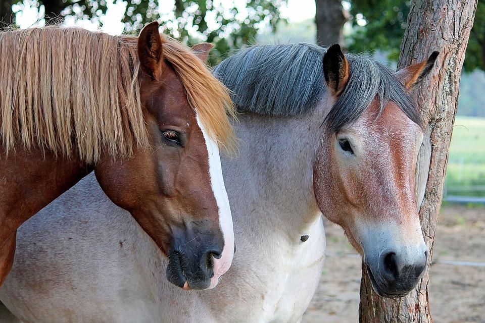 Horses, Pasture, Kaltblut, Light Brown