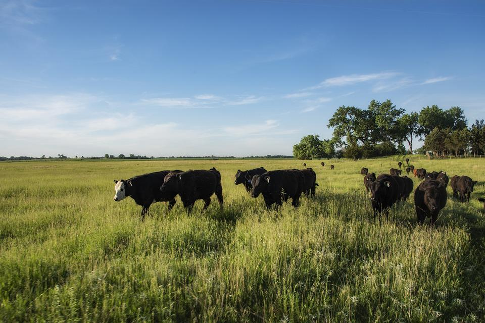 Cattle, Livestock, Pasture, Grass, Animal, Agriculture