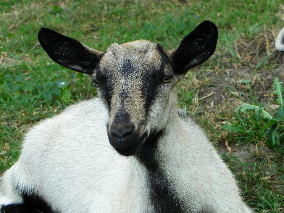Goat, Kid, Domestic Goat, Livestock, Pasture