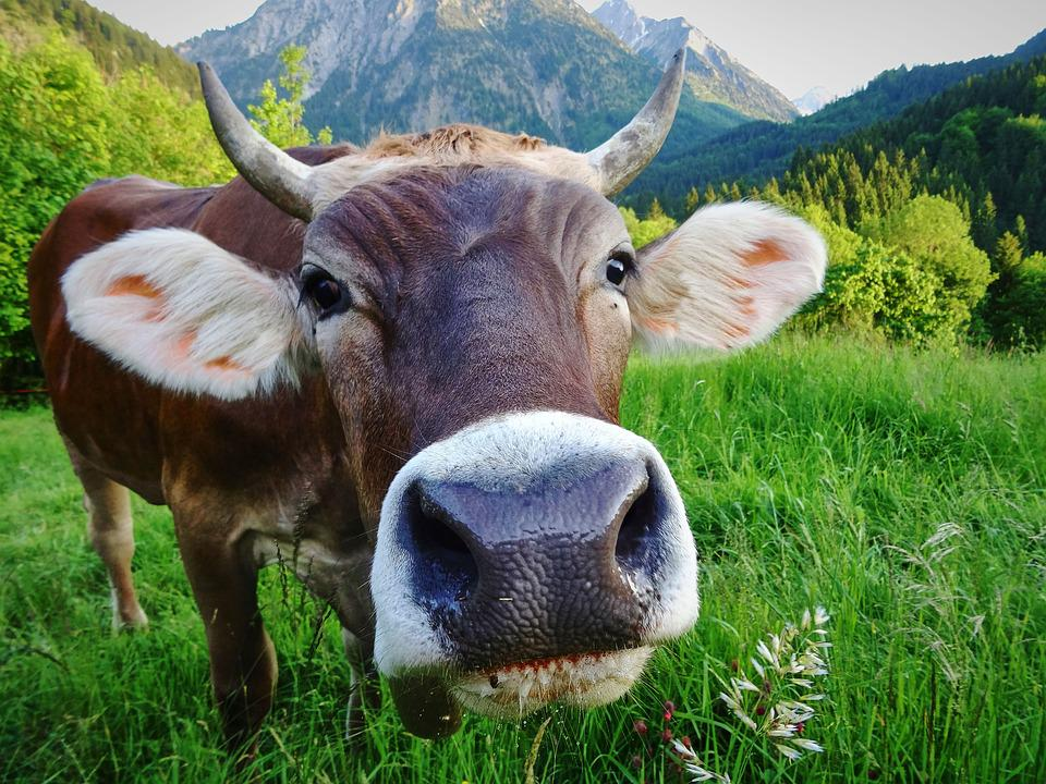 Cow, Alm, Meadow, Pasture, Beef, Agriculture, Nature