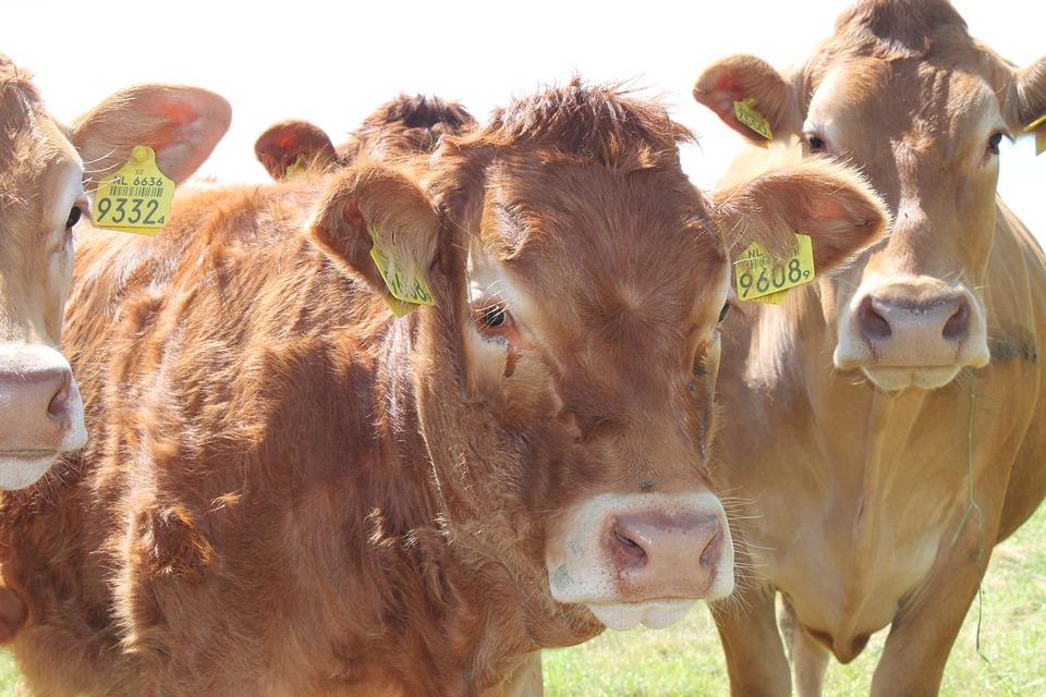 Netherlands, Cow, Cows, Whey, Pasture, Grass, Landscape