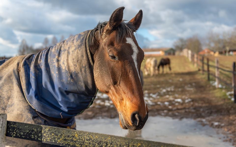 Paddock, Horse Head, Horse, Pasture, Animal