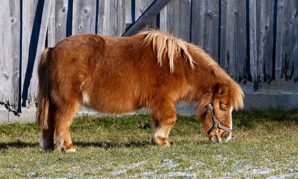 Pony, Pasture, Eating