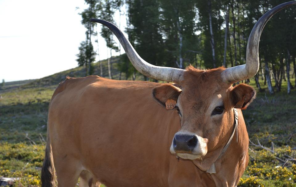 Cow, Portugal, Horns, Pasture, Rousse