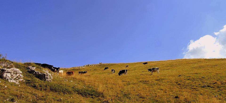 Herd, Cow, Pasture, Prato, Animals, Bovino, Mountain