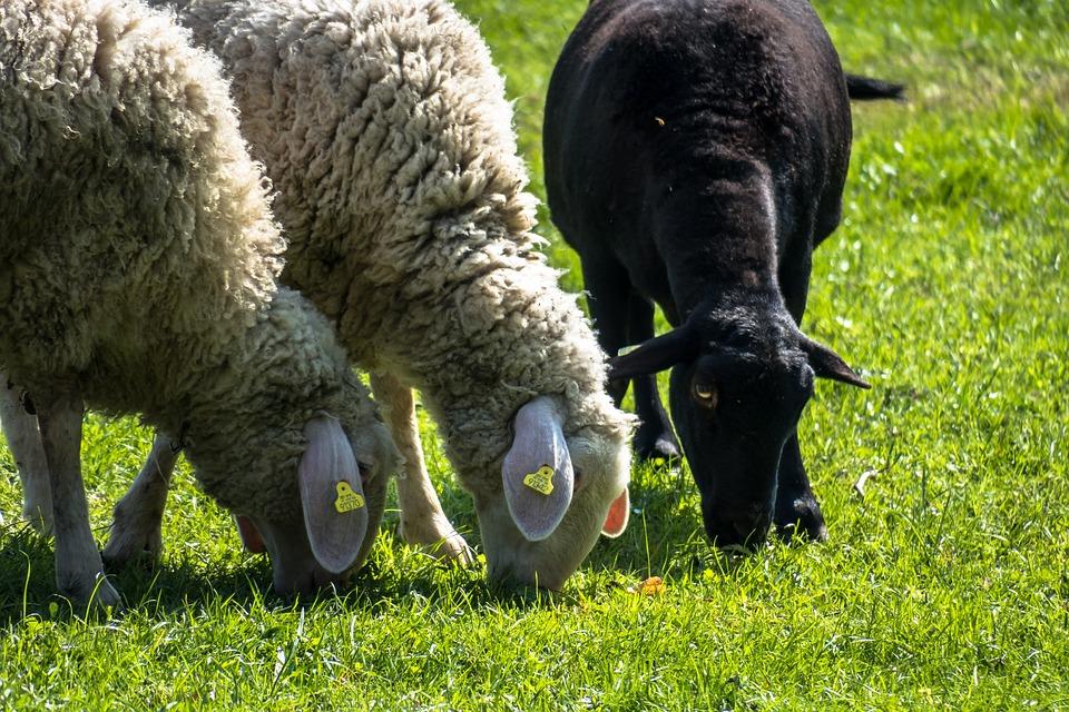 Sheep, Graze, Black Sheep, Eat, Meadow, Grass, Pasture