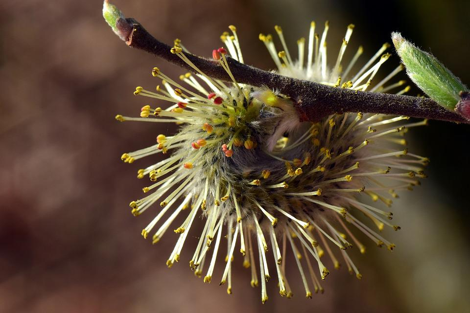 Willow Catkin, Pasture, Tender, Filigree, Flowers