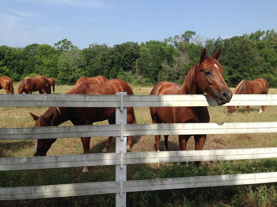 Horse, Pasture, White Fence, Grass, Equestrian, Outdoor